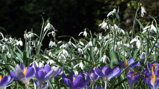 Thumbnail for Snowdrops & Crocuses - Spring Flowers - 125