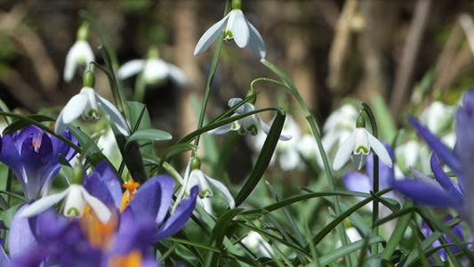 Cover Image for Snowdrops & Crocuses - Spring Flowers - 126