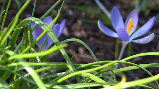 Thumbnail for Blue Crocuses - Spring Flowers - 127
