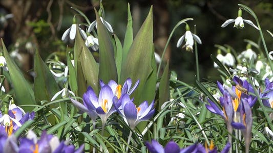 Thumbnail for Snowdrops & Crocuses - Spring Flowers - 129