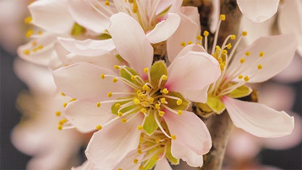 Thumbnail for Apricot Flower Blooming