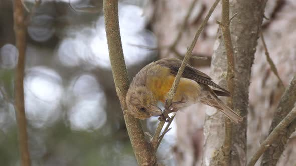 Cover Image for Male Red crossbill on a branch