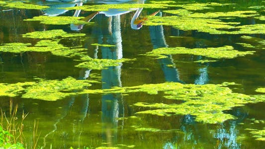 Thumbnail for Pelican Reflection on Green Lake