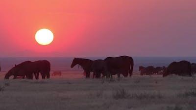 Heard of wild horses grazing as the sun sets