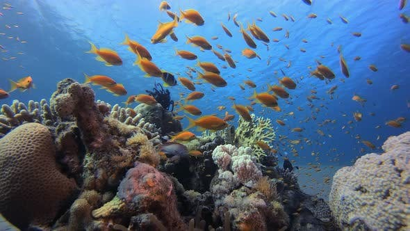 Thumbnail for Clownfish Underwater Tropical Coral Garden