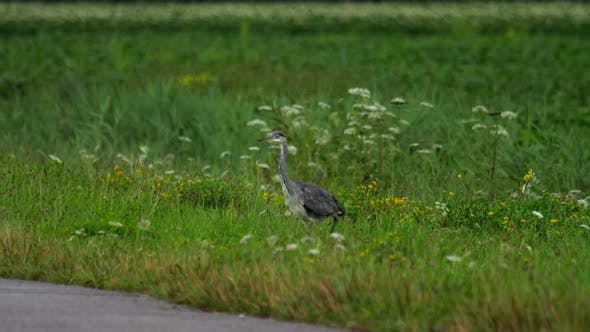 Thumbnail for Grey Heron Standing in Field of Farmland
