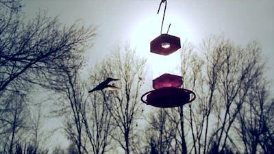 Humming Birds at Feeder.