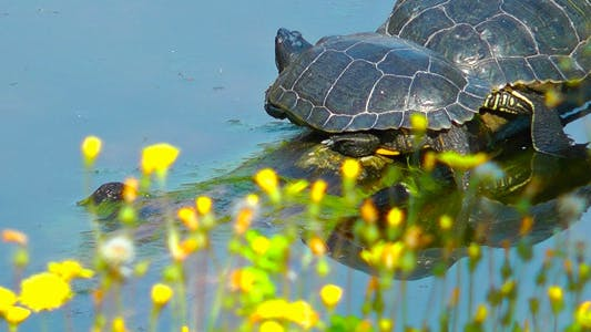 Thumbnail for Turtles and Yellow Flowers