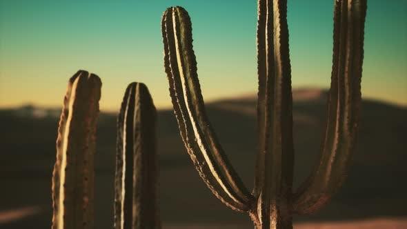 Saguaro Cactus Sonoran Desert Arizona