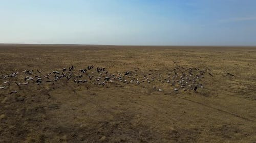 Flock of Cranes Flying. Flock of Migratory Bird Fly Over Steppes To China.  Hdr Slow Motion