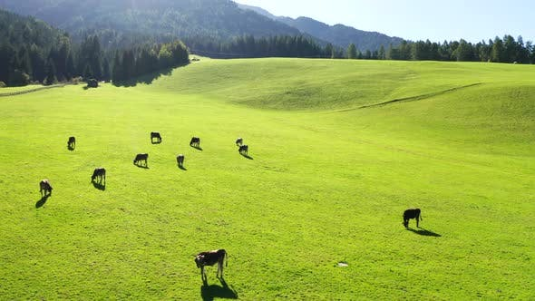 Thumbnail for Cows Graze On A Green Meadow