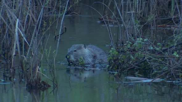 Thumbnail for Beaver Adult Pair Eating Feeding in Spring Dawn Morning Feeding Tail