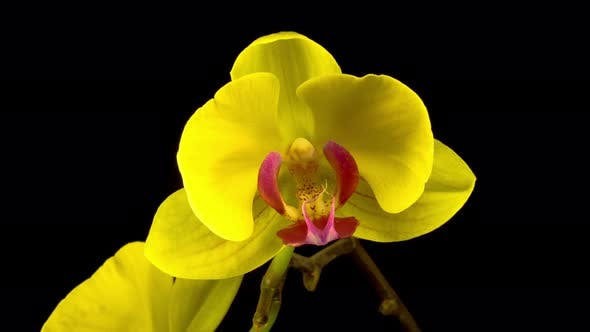 Thumbnail for Blooming Yellow Orchid Phalaenopsis Flower