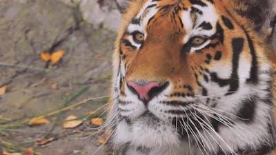 Siberian Tiger Was Also Called Amur Tiger, Manchurian Tiger, Korean Tiger