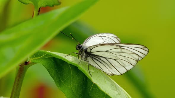 Thumbnail for Aporia Crataegi (Black-veined White Butterfly)