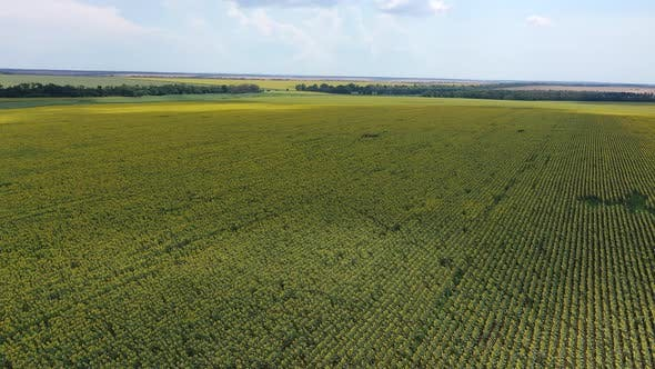 Thumbnail for Aerial View Of A Flowering Sunflower Field