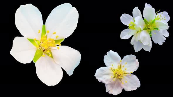 Thumbnail for Almond Flower Blossom Isolated
