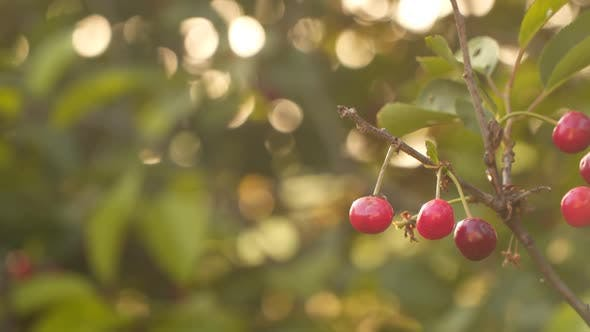 Ripe red cherries on a branch against the background of blurred foliage