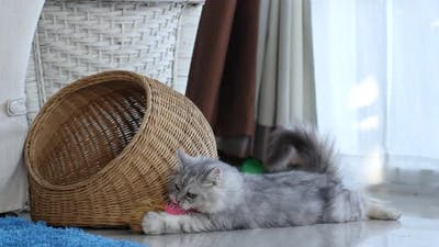 Cute Persian Cat Playing Toy In Living Room