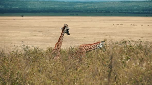 Thumbnail for Wild Giraffes in South Africa