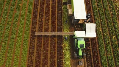 Cabbage Harvesting By Tractor