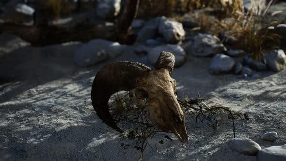 Thumbnail for Skull of a Dead Ram in the Desert