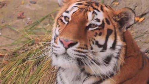 The Siberian Tiger Was Also Called Amur Tiger Manchurian Tiger Korean Tiger