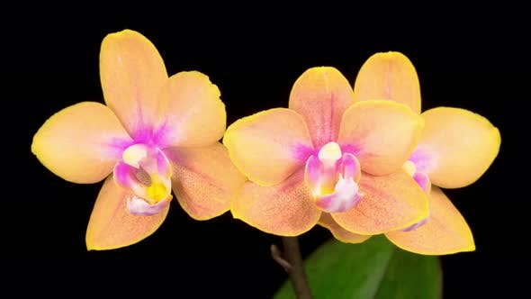 Thumbnail for Blooming Orange Orchid Phalaenopsis Flower