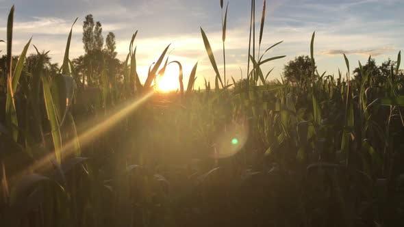 Thumbnail for Wheat At Dawn
