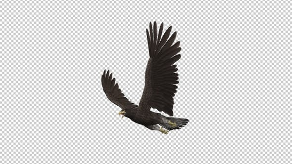Eurasian White-tailed Eagle - Flying Transition III