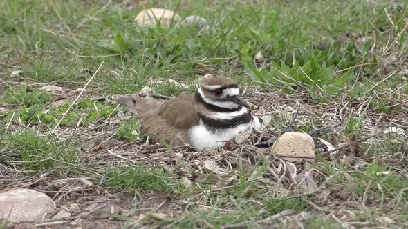 Thumbnail for Killdeer Bird Nesting Incubating Spring Eggs on Ground Leaving Fleeing Alarmed