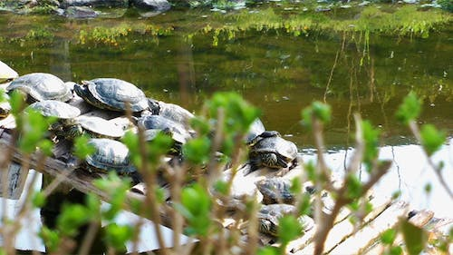 Green Leaves and Turtles