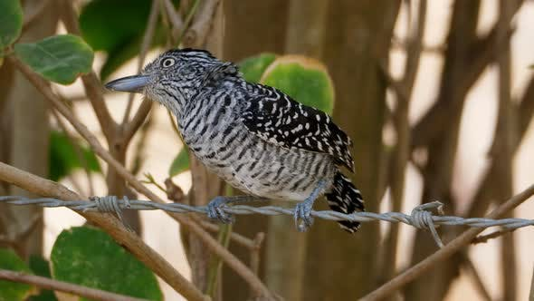 Thumbnail for Barred Antshrike Bird in its Natural Habitat in the Tropics