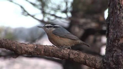 Red-breasted Nuthatch Adult Lone Perched in Winter in South Dakota