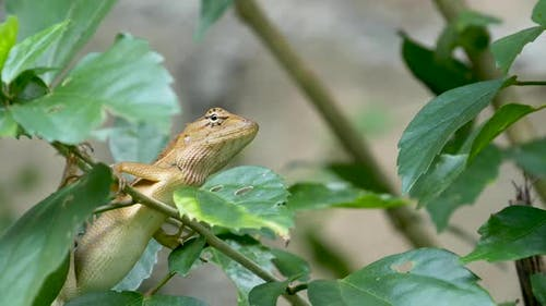 A Small Exotic Bloodsucker Lizard Sits in the Middle of Lush Green Foliage