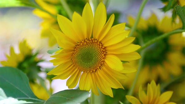 Thumbnail for Decorative Sunflower