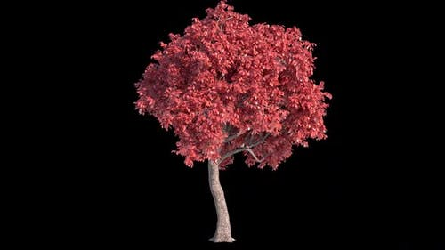 Acer Tree With Alpha Channel