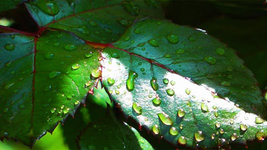 Cover Image for Green Leaves after the Rain