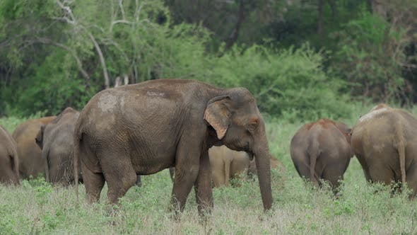 Cover Image for Herd of Asian elephant with baby elephants