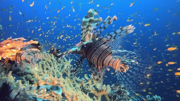 Thumbnail for Tropical Coral Reefs Lionfish