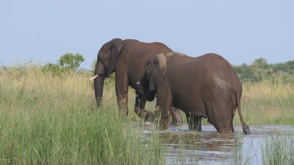 Thumbnail for Two Elephants walking out of a lake