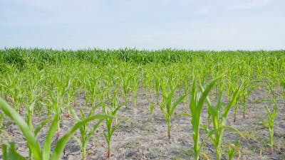 Corn Growing on the Countryside Land
