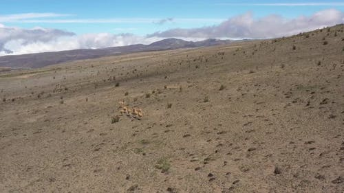 Aerial view of a group of lamas or vicunas that is running over the large plains