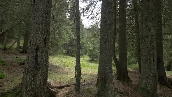 Thumbnail for Forest Glade in A Spruce Forest