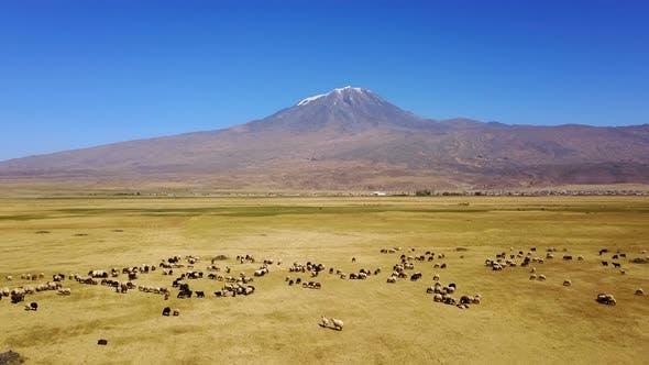 Thumbnail for Sheeps grazing, Noah's Mount Ararat Meadow, Agri Dagi, Turkey