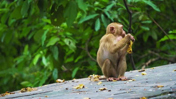Monkey Eating the Banana