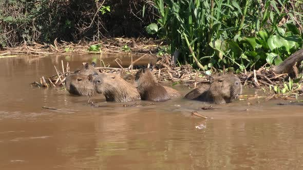 Capybara Adult Immature Several Eating Chewing in Brazil