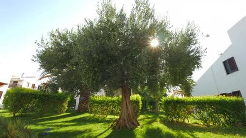 Green House Garden with Big Fruitful Olive Tree