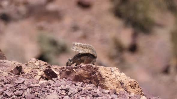 Squirrel in the sahara desert