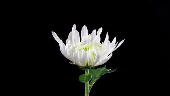 Time Lapse Chrysanthemum Flower Opening